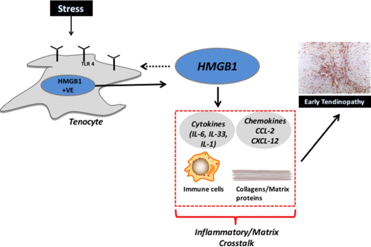 Targeting danger molecules in tendinopathy  the HMGB1TLR4