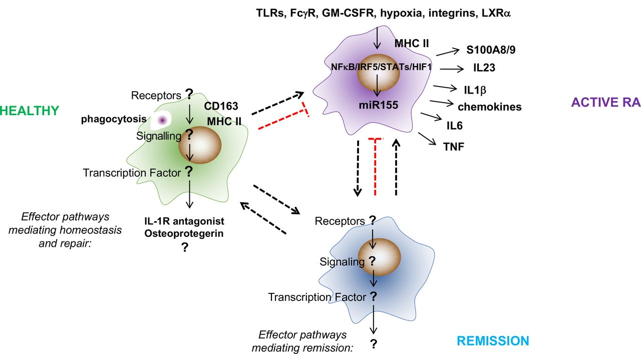 Synovial tissue macrophages: friend or foe? | RMD Open